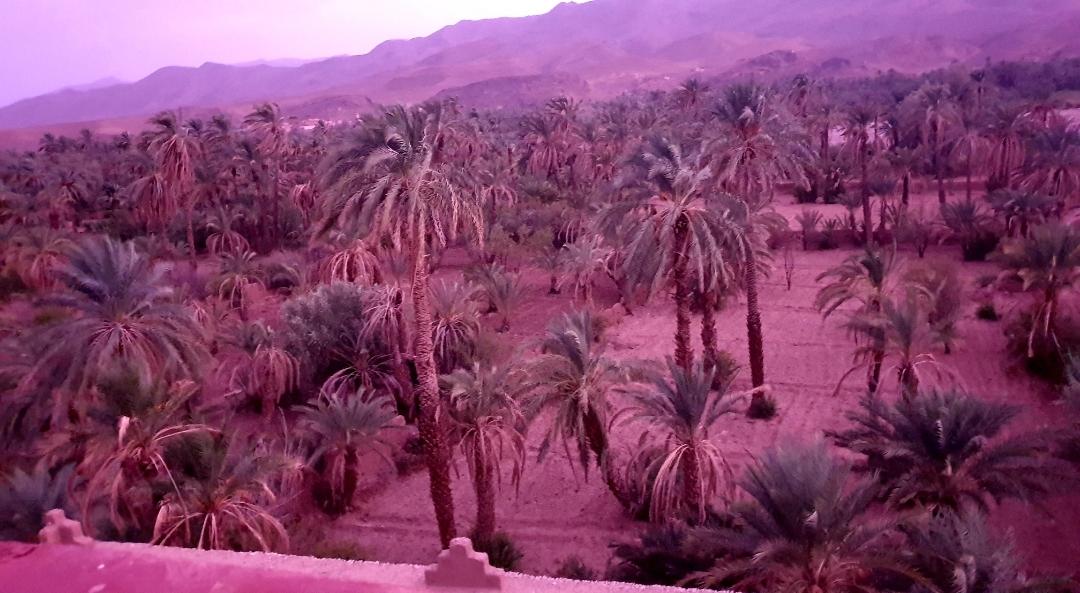 vue sur la palmeraie au coucher du soleilk